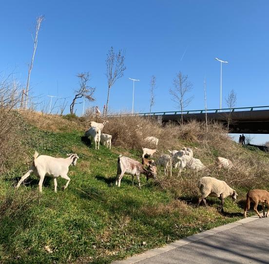 Ganado por el Parc Agrari del Baix Llobregat